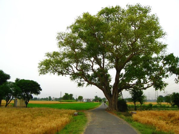 Image result for village tree