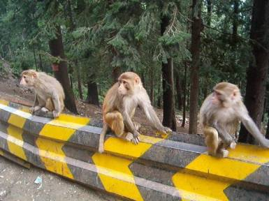 41-You-will-get-to-see-monkeys-on-the-roadside-on-your-way-to-Murree